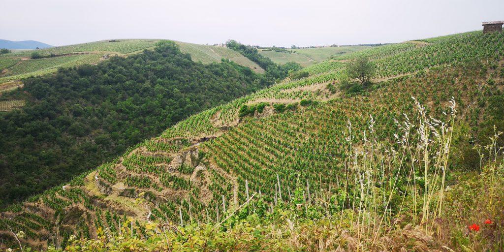 Le vignoble escarpé de Côte Rôtie, le plus au Nord de la Vallée du Rhône