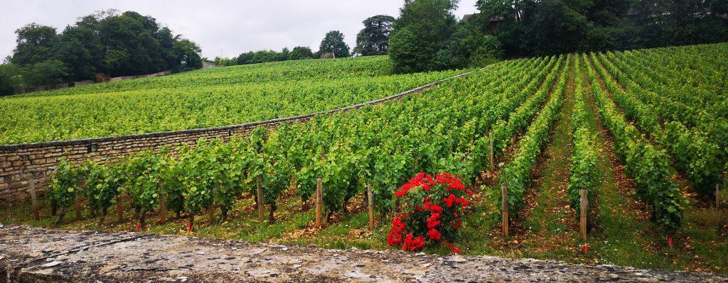 les vignes voisines du Domaine  P&M Jacqueson, à Rully en Côte Chalonnaise