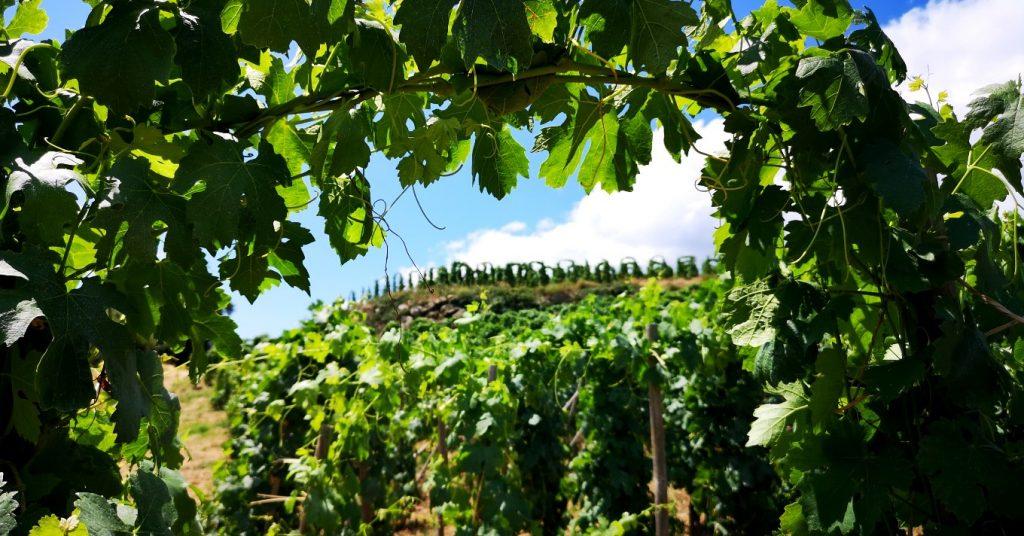 La conduite en U inversé, très particulière aux vignobles de Cornas et Saint Peray. Ici au Domaine du Tunnel