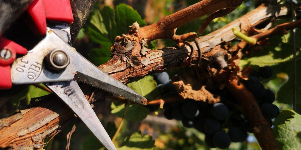 sécateur dans les vignes pour les vendanges